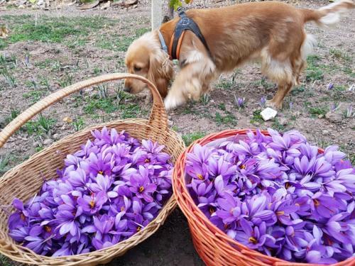 raccolta fiori vimini_zafferanoalghero
